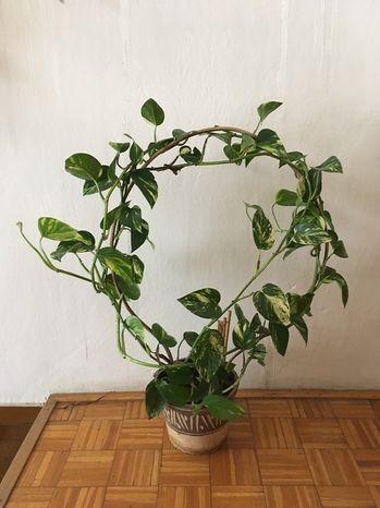 Bambusový oblúk omega
